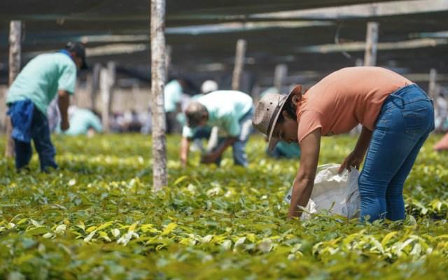 Sembrando Vida deforesta bosques y selvas indiscriminadamente, acusa Coparmex - Sembrando Vida programa México