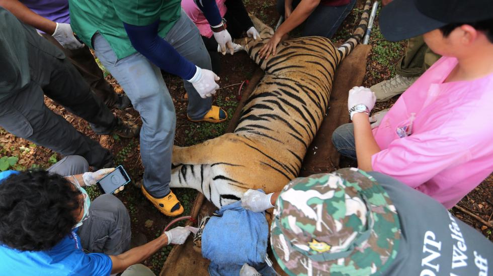 Mueren 86 tigres rescatados de templo en Tailandia - Foto de EFE