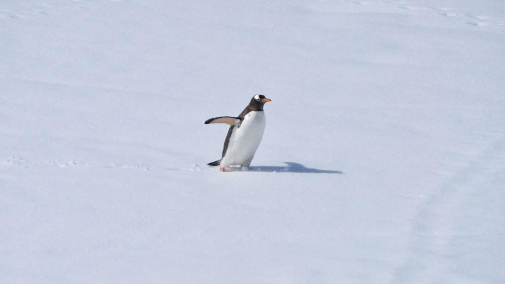 Descubren restos de microplásticos en pingüinos de la Antártida - Pingüino en la Antártida. Foto de henrique setim / Unsplash