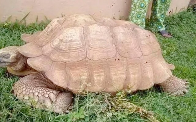 Muere la tortuga Alagba a los 344 años - tortuga Alagba