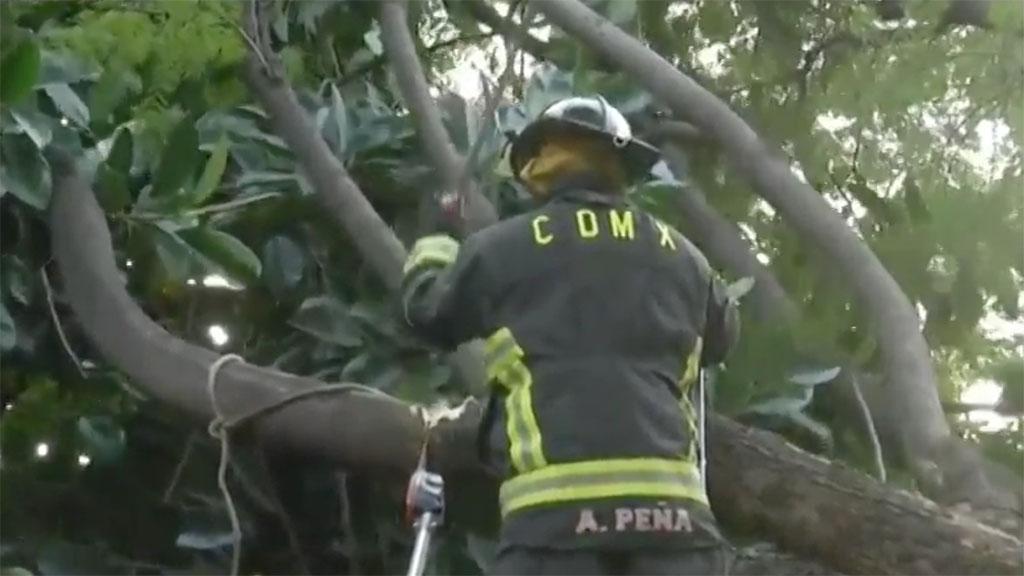 Bombero se accidenta al cortar rama de árbol caído en la Condesa - López-Dóriga