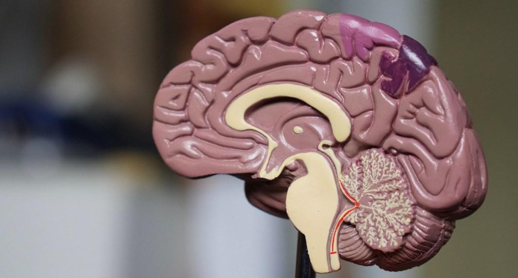 El origen de la obesidad podría estar en el cerebro - Cerebro humano