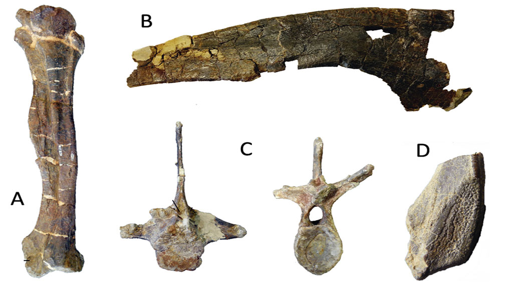 Fémur, Ilion, Vértebra dorsal y Diente de Lambeosaurus