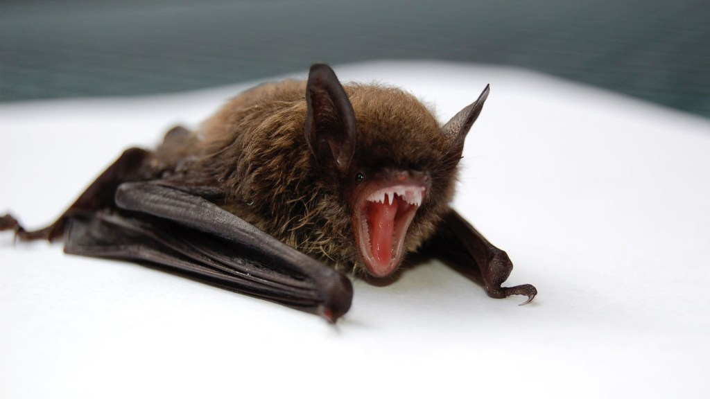 SARS-CoV-2 saltó de los murciélagos a los humanos sin muchos cambios, aseguran expertos - El enfoque en los murciélagos, y en general en la vida silvestre como responsables de las enfermedades emergentes, ha llevado a matar o dispersar especies animales