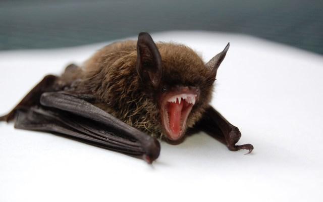 No hay evidencia que vincule a murciélagos con el Covid-19, aclara experto - Murciélago. Foto de Todd Cravens / Unsplash