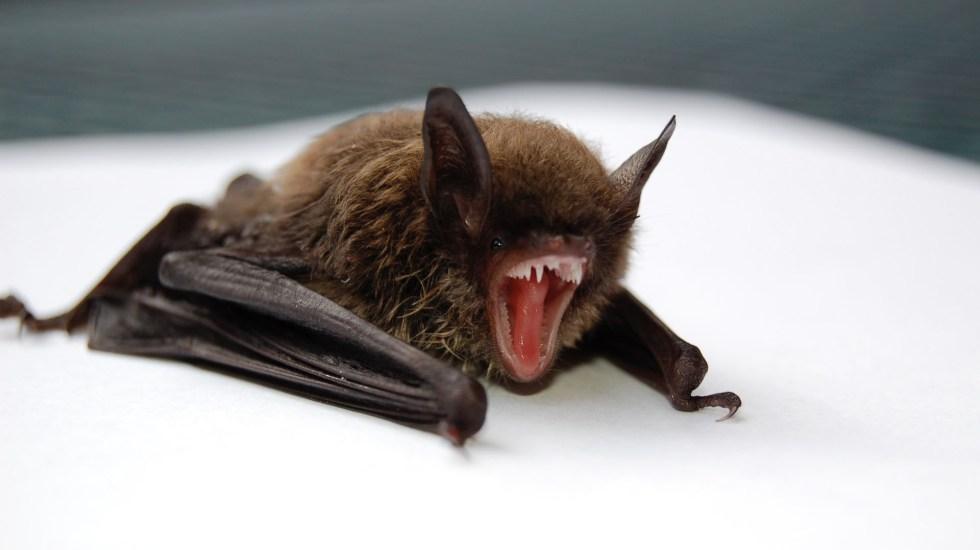 COVID-19 saltó a los humanos desde murciélagos, la teoría más probable de la OMS sobre origen de la pandemia - El enfoque en los murciélagos, y en general en la vida silvestre como responsables de las enfermedades emergentes, ha llevado a matar o dispersar especies animales