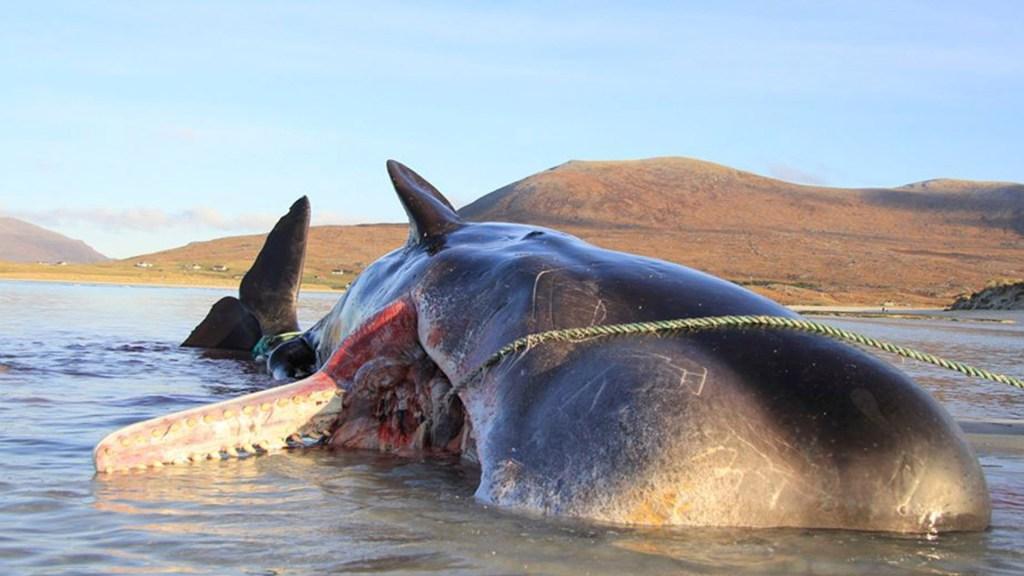 Extraen 100 kilos de basura de ballena muerta en Escocia - Ballena muerta en Escocia. Foto de @Strandings