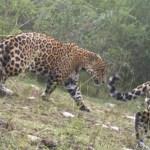 Reportan avistamiento de felinos en peligro de extinción en Tamaulipas