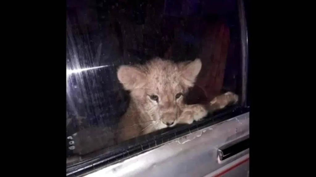 Rescatan a cachorro de león encerrado en camioneta en Nuevo León - Cachorro león abandonado Nuevo León