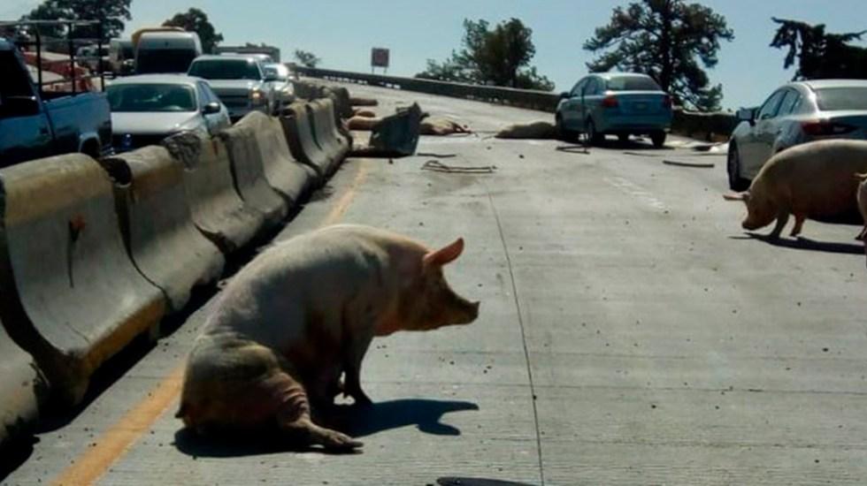 Vuelca camión cargado de cerdos sobre la México-Puebla - Cerdito que iba en camión volcado en Ixtapaluca. Foto de @8_Columnas