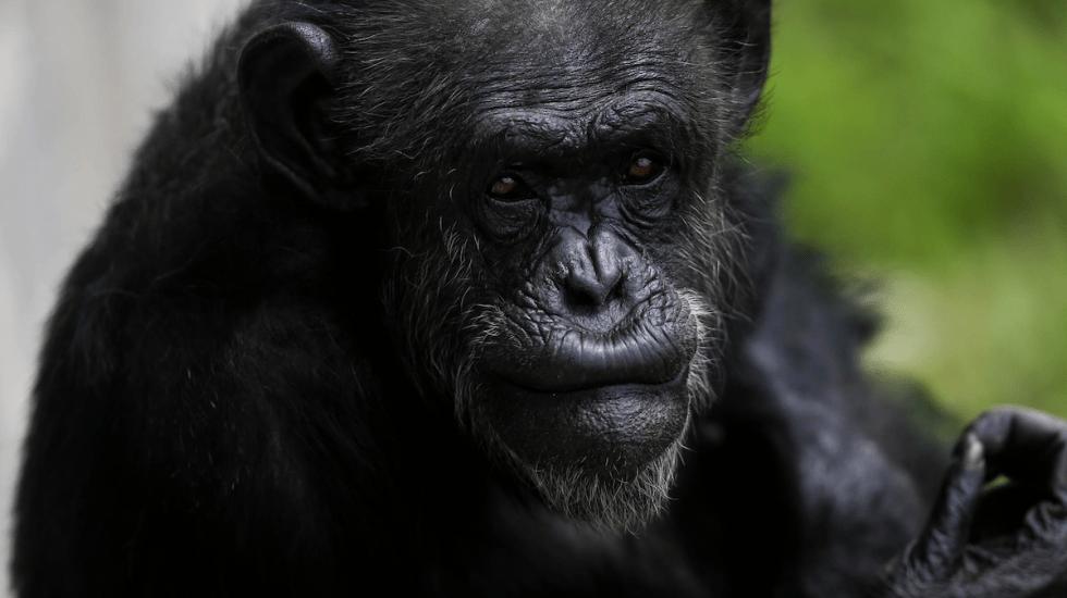 Chimpancés escuchan música de piano y marcan el ritmo con las palmas - Foto de EFE