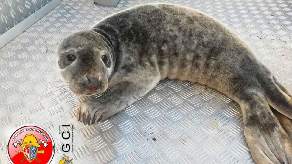 Rescatan en playa de Portugal a foca gris herida - Foca gris rescatada en playa de Portugal. Foto de @CBVEsmoriz