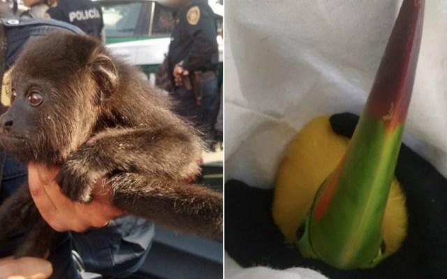 Policía capitalina detiene a hombres con un mono capuchino y dos tucanes - Foto de SSC CDMX