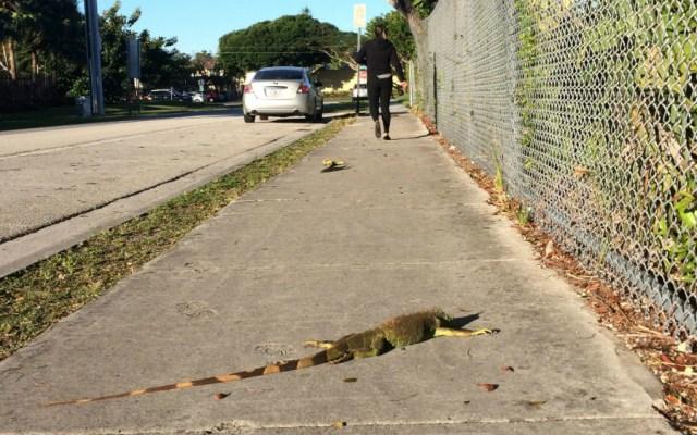 """Ola de frío en Florida provoca cierre de parques temáticos y """"lluvia de iguanas"""" - Foto de EFE"""