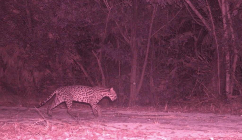 Detectan presencia de 10 felinos salvajes en Cancún - Foto de EFE