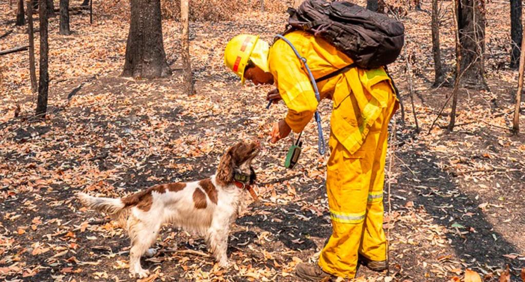 #Video Perra ayuda a encontrar koalas heridos por incendios en Australia - Taylor, como se llama esta perra de color blanco y manchas marrones, ha ayudado a rescatar al menos a 15 koalas