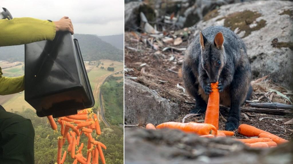 Lanzan verduras desde helicópteros para alimentar a animales en Australia - Vegetales Australia animales