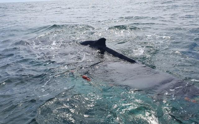 Rescatan a ballena en zona de protección de la vaquita marina - Foto de Semar