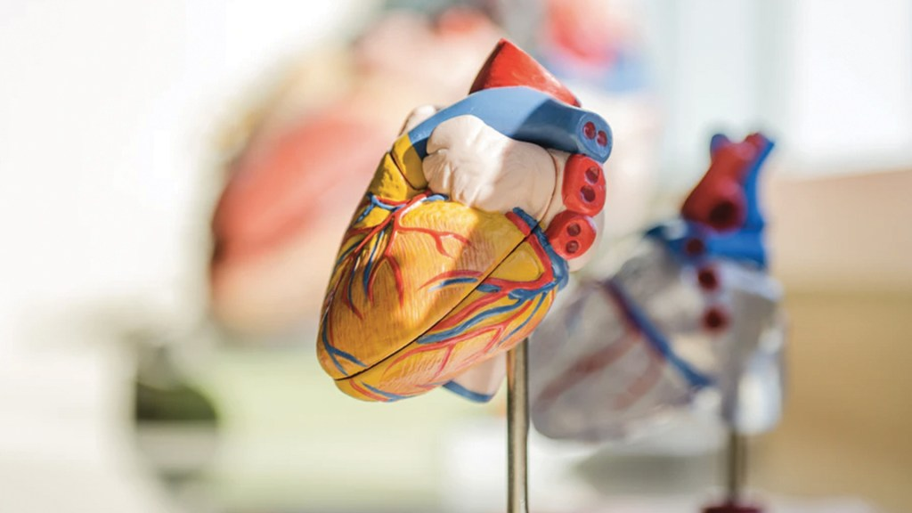 Escasos centros para trasplantes de corazón mínimamente invasivos - Modelo de corazón. Foto de jesse orrico @jessedo81