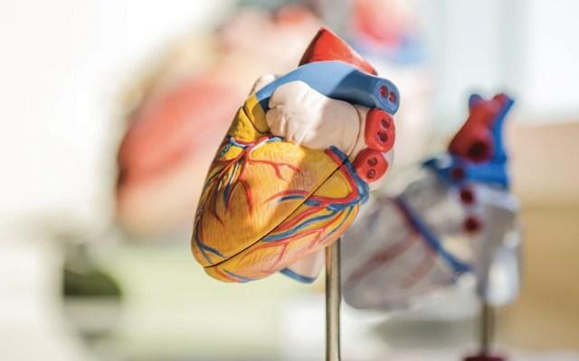Aumentan en México muertes por enfermedades crónicas; afecciones cardíacas, la número uno - Modelo de corazón. Foto de jesse orrico @jessedo81