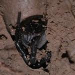 La verdad sobre las arañas 'Cyclocosmia'