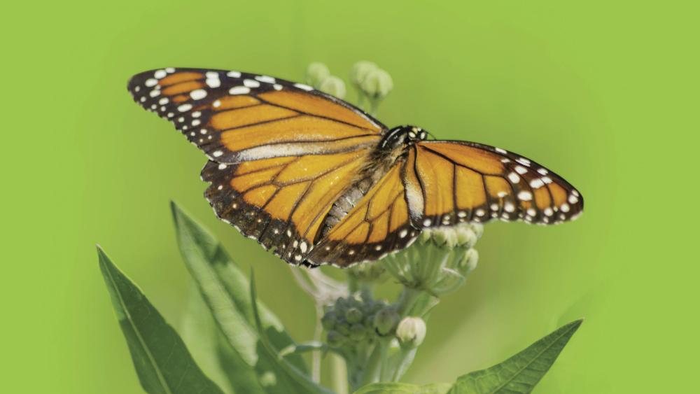 En peligro migración de la mariposa monarca en Norteamérica - Foto de UNAM
