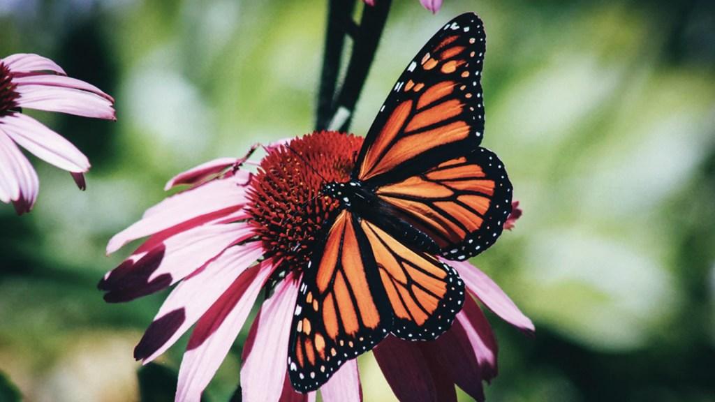Cambio climático afecta el hábitat de las mariposas monarca - Foto de Erin Wilson @erinw