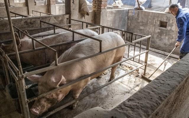 Mueren repentinamente 120 cerdos en isla de Indonesia - Mueren repentinamente 120 cerdos en isla de Indonesia