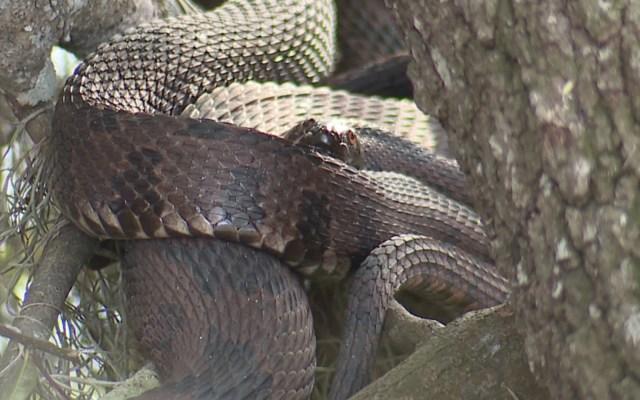 Cierran parque de Florida por apareamiento de serpientes - Foto de ABC