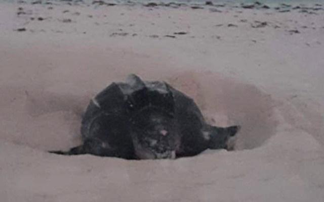 Avistan animales en peligro de extinción en Cancún - Desove de tortuga laúd frente a hotel en Cancún. Foto de @ecologiacancun