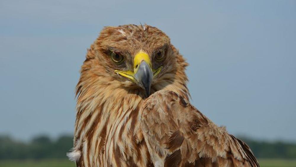 Pandemia por COVID-19 aumenta delitos contra la vida silvestre - Águila imperial. Foto de Lisa Lugerbauer