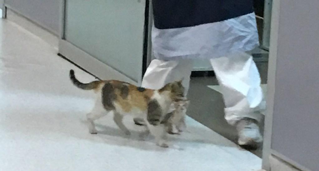 Gata lleva a su cachorro a sala de emergencias de hospital - Gata entra con su cachorro a hospital de Estambul. Foto de @ozcanmerveee