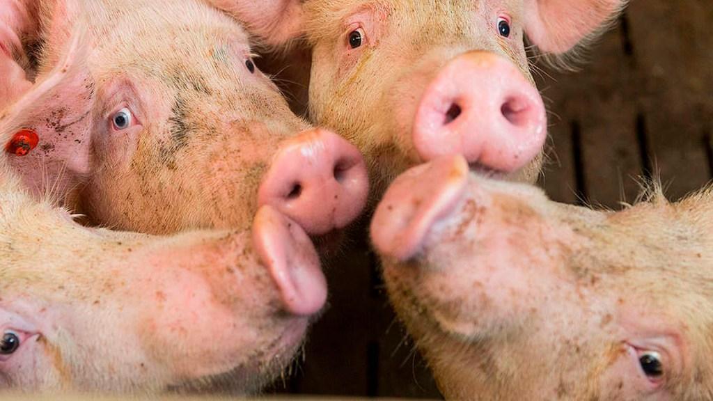 COVID-19 agravará crisis ambiental por granjas porcinas en México: Greenpeace - granjas porcinas coronavirus COVID-19