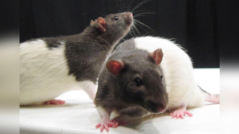 Estudio revela que algunos animales identifican el ritmo de las canciones - Imagen de roedores de laboratorio