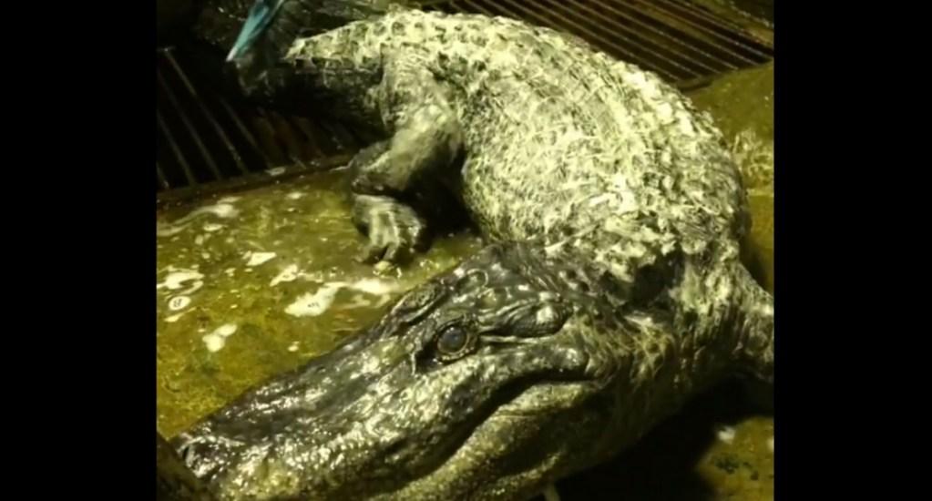 Murió Saturno, el cocodrilo que conoció a Hitler - Saturno cocodrilo Moscú
