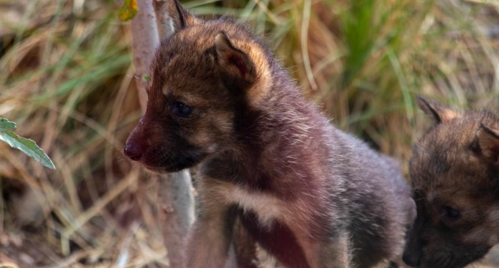 #Video Nacen en Saltillo ocho cachorros de lobo gris mexicano - Cachorros de lobo gris mexicano