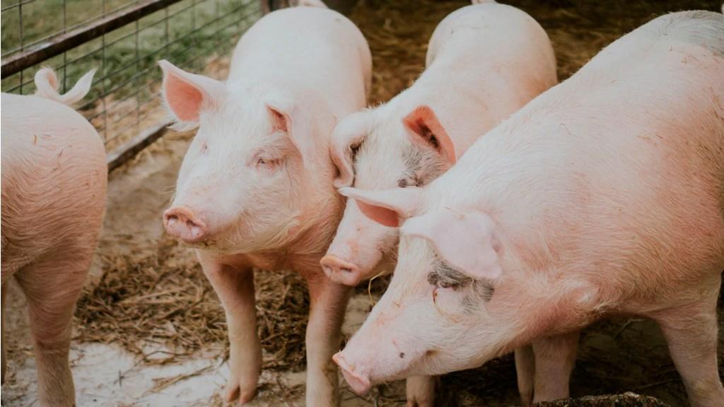 Científicos en China alertan por gripe porcina que podría trasmitirse a humanos - gripe porcina