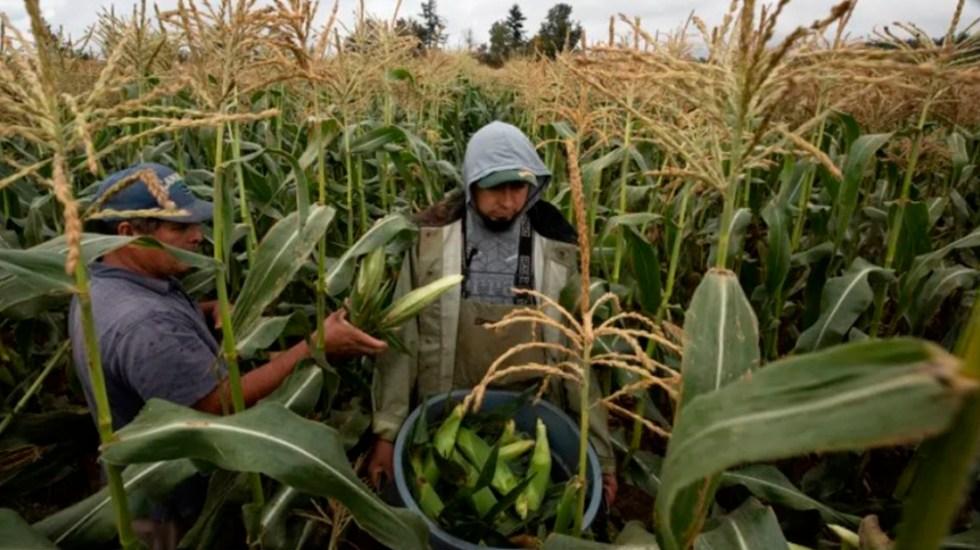 CNDH investiga muerte por COVID-19 de dos mexicanos en granjas de Canadá - muerte mexicanos granjas canadá