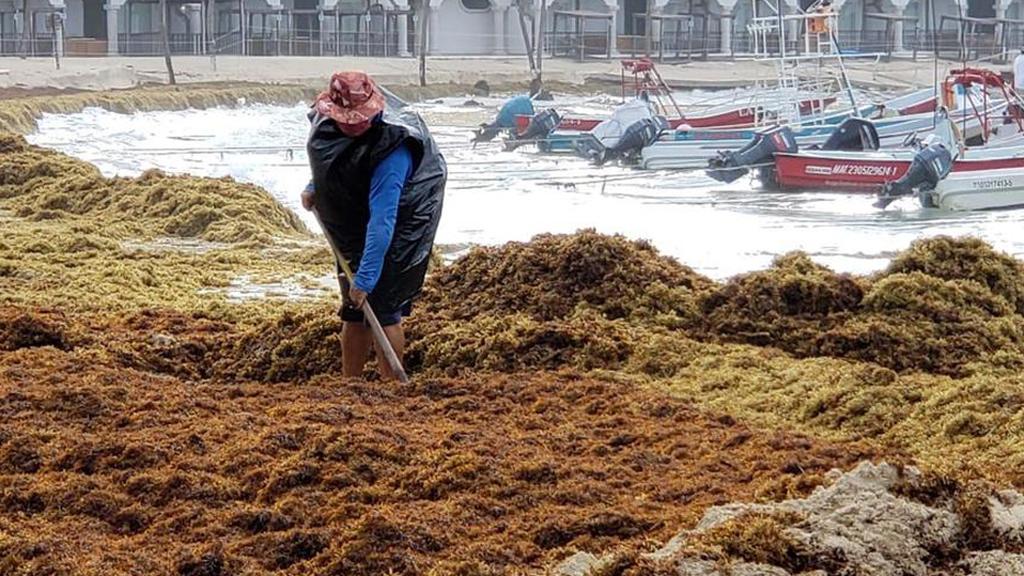 Cristóbal dejó 500 toneladas de sargazo en Playa del Carmen - Retiro de sargazo arrastrado a playas de Solidaridad por tormenta tropical Cristóbal. Foto de Milenio