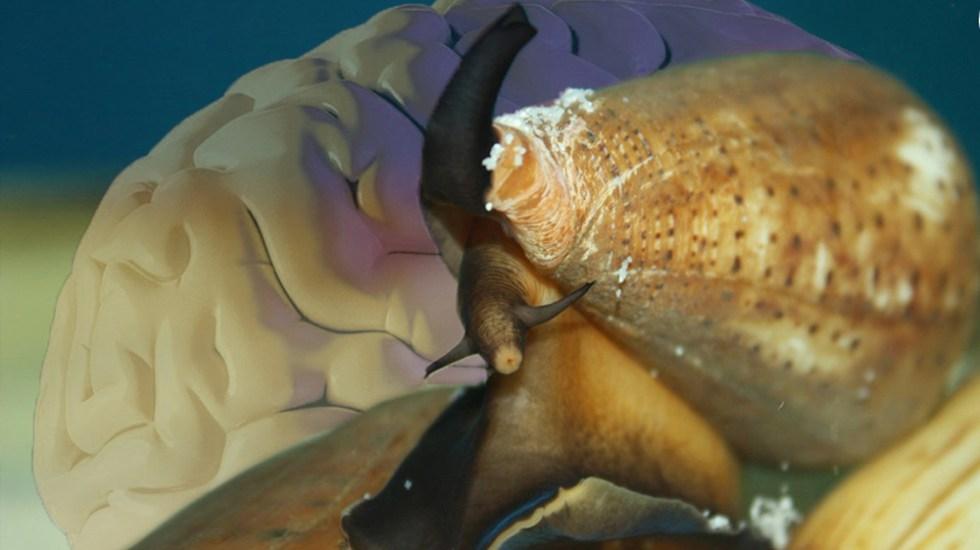 UNAM estudia el veneno de caracoles marinos contra el dolor crónico - Caracol marino. Foto de @SalaPrensaUNAM