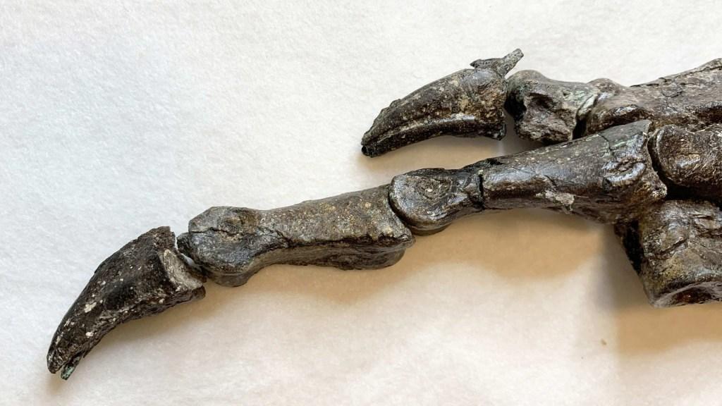Descubren nueva especie de dinosaurio de hace 115 millones de años - Fósil de dinosaurio hallado en 2008 en Brasil. Foto de EFE