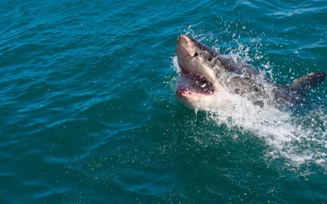 Adolescente muere tras ataque de tiburón blanco en Australia - tiburón blanco