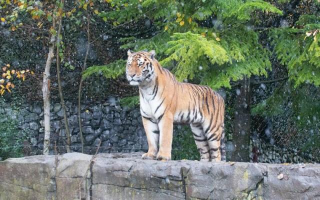 Empleada de Zoológico de Siberia muere por ataque de tigresa - Tigre del Zoológico de Zúrich. Foto de @zoozuerich