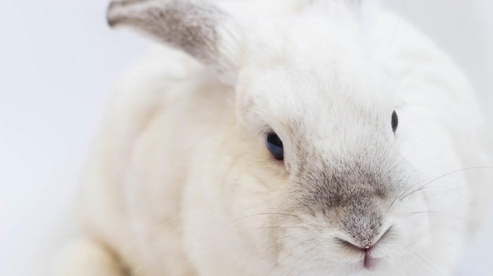 Prohíben en Colombia pruebas cosméticas en animales - Los conejos son generalmente utilizados en pruebas cosméticas. Foto de Gustavo Zambelli / Unsplash