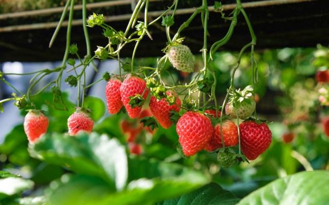 México defenderá acceso preferencial de exportaciones agrícolas a EE.UU. - Fresas. Foto de Henry & Co. / Unsplash