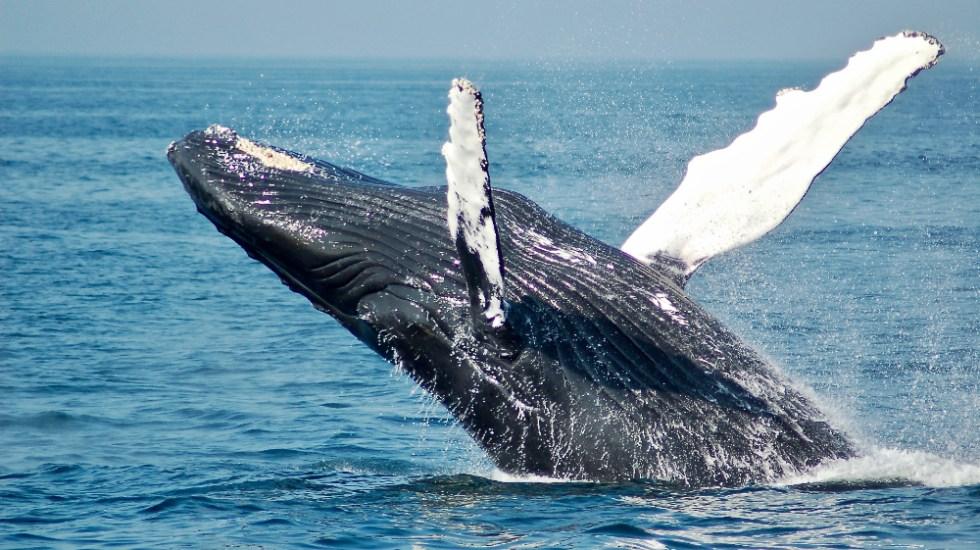 Este es el calendario para avistamiento de ballenas en la temporada 2020-2021 - Foto de Todd Cravens para Unsplash