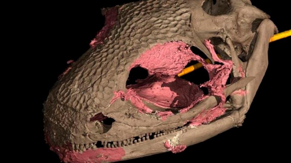 Anfibio destrona al camaleón como primer vertebrado con lengua proyectable - Foto EFE