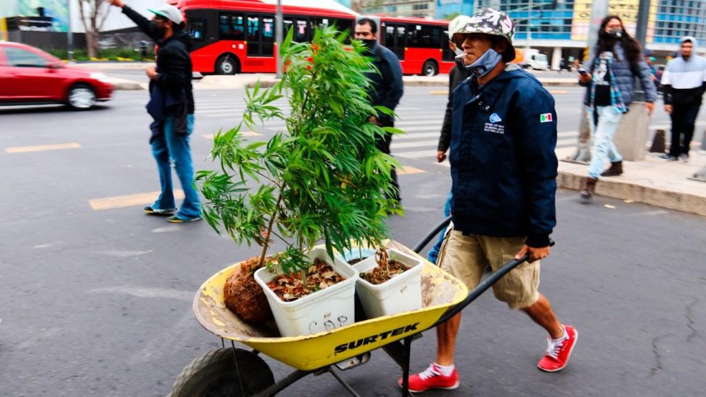 Regularización de la mariguana romperá la cadena del narcomenudeo, afirma Ricardo Monreal - Hombre transporta plantas de mariguana en carretilla por calles de la Ciudad de México. Foto de EFE (Archivo)