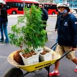 El narcotianguis de Ciudad de México - Hombre transporta plantas de mariguana en carretilla por calles de la Ciudad de México. Foto de EFE (Archivo)