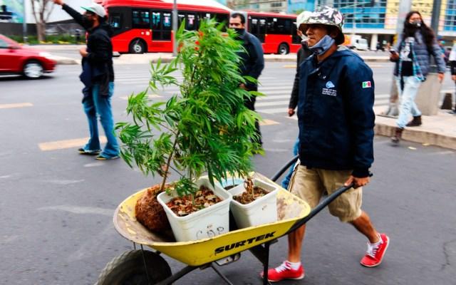 Regularización de la mariguana romperá la cadena del narcomenudeo, afirma Ricardo Monreal - Hombre transporta plantas de mariguana en carretilla por calles de la Ciudad de México. Foto de EFE